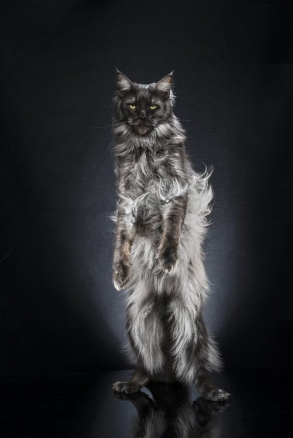 Domestic cat standing on hind legs