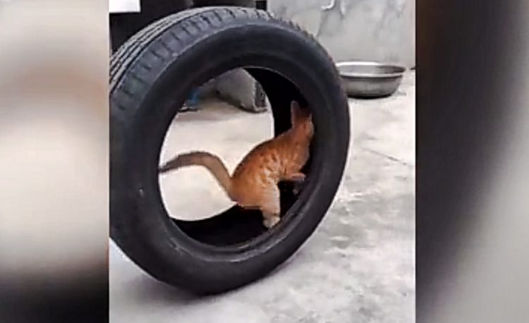 Cat uses car tyre as exercise wheel