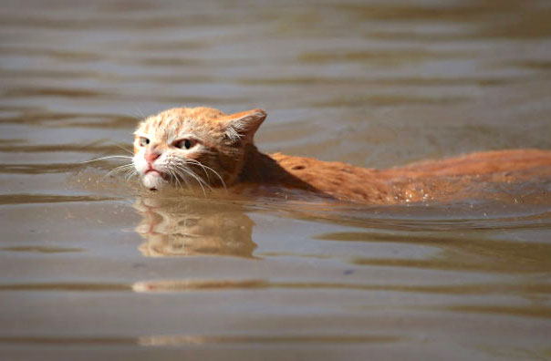 Swimming cat believes in climate chavnge even if Trump does not
