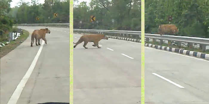 Tiger crosses four-lane highway in India