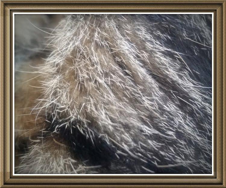 Tabby fur