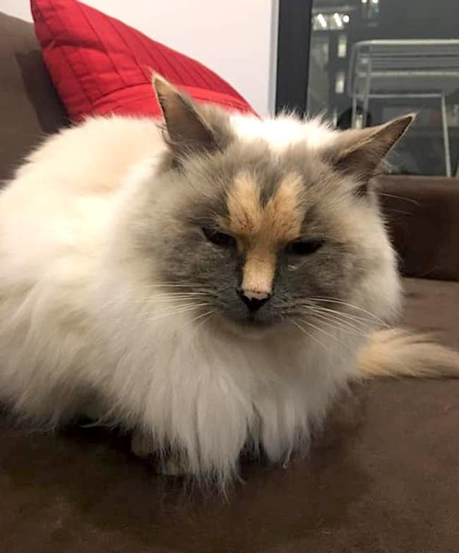 Rescue Ragdoll cat Dairy ready for adoption but carries an unfortunate facial marking