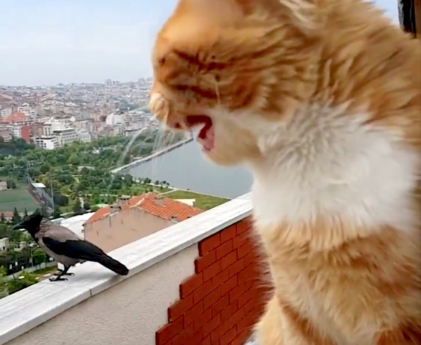 Cat has conversation with hooded crow on high-rise building