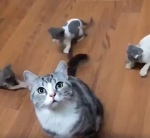 Adult cat entertains three cats with her tail without realising it