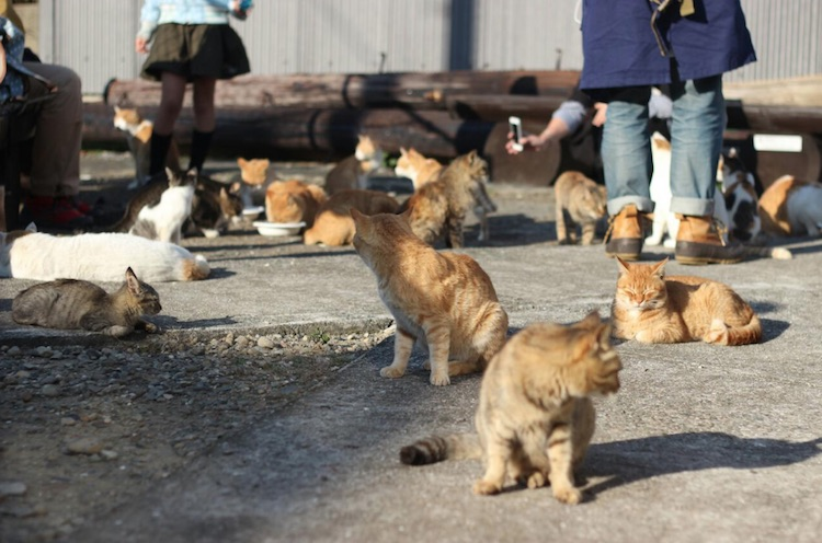 Japanese island colony of look alike ginger tabby cats