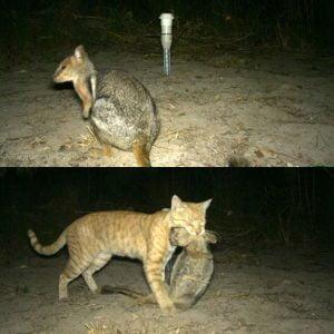 Aussie feral cat kills 8 pound rock wallaby
