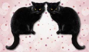 Cloned cat