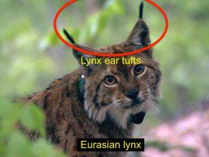 Eurasian lynx (Balkans)