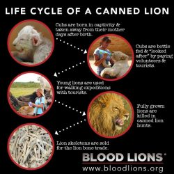 Exploitation of lions in SA