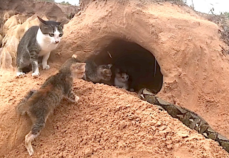 Staged video of kittens being saved by 'primitive boy' from