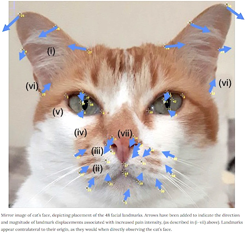 Facial landmarks on cat showing facial expression when in pain