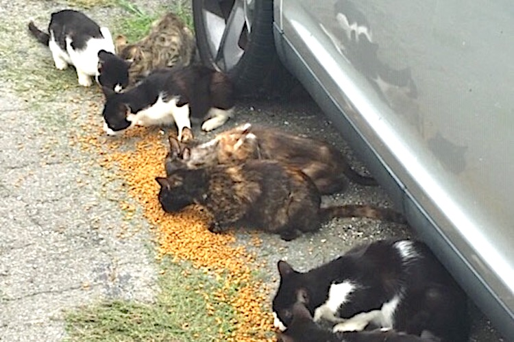 Feeding the staving cats