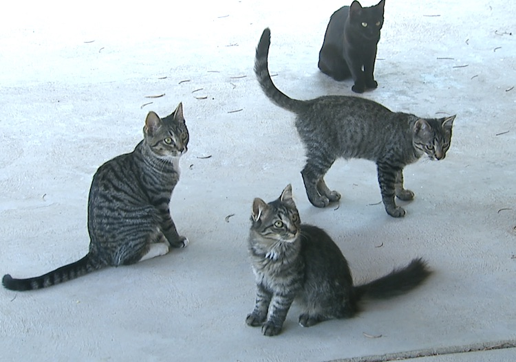 Feral cats in backyard waiting to be fed
