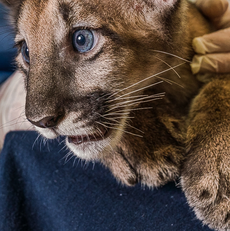 Florida panther cub who is healthy despite his mother having the disease