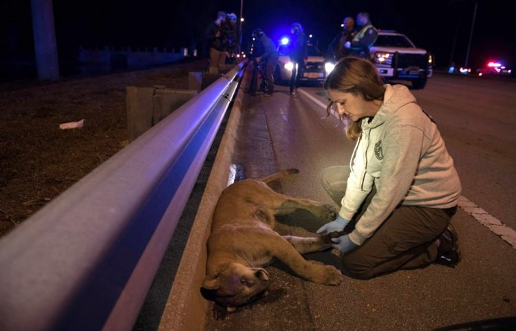Florida panther killed on road