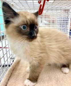 Latte. Believed to be a Ragdoll type. Photo: SWNS