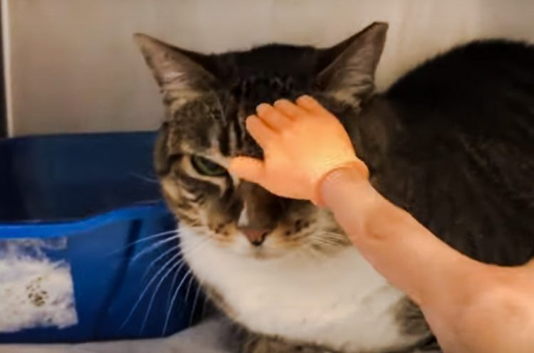 Mini hand is a standard tool for petting cats in this animal