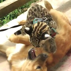 Ocelot plays with dog at Peruvian rescue center