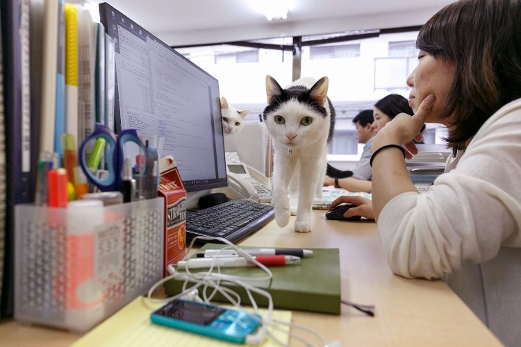 A cat rests between computers at Ferray Corporation, Tokyo, Japan