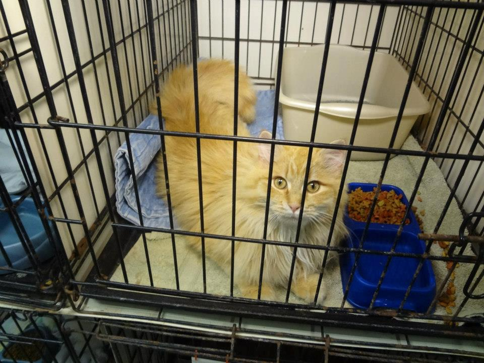 Orange cat in shelter