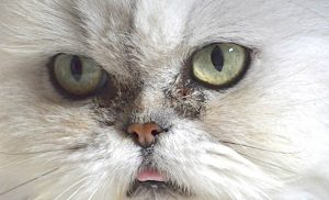 Persian cat with watery eyes