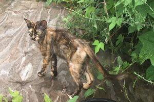 Starving feral dark tortie cat