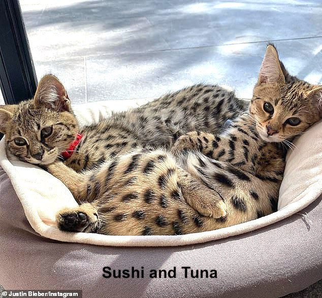 Sushi and Tuna F1 Savannah cats