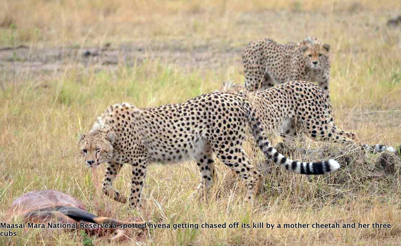 Cheetah takes a hyena kill