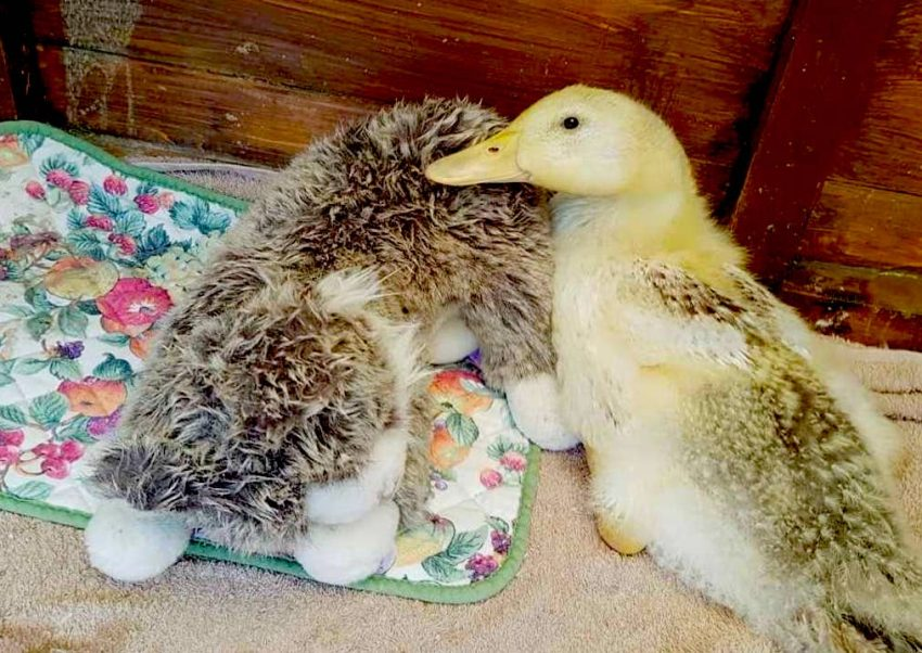 Cat plush toy is imprinted as this duckling's mother