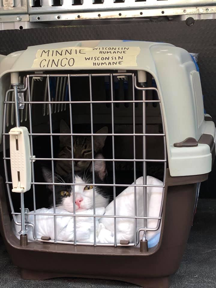 Rescue cat flown in from Florida to Wisconsin to free up space for cats made homeless due to Hurrican Dorian
