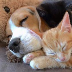 Beagle raises two kittens