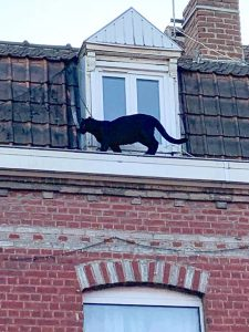 Black panther on roof in France