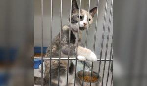 Calico cat found with tight elastic band around neck