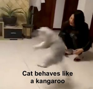 Cat behaves like a kangaroo