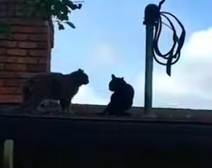 Cats fight on roof