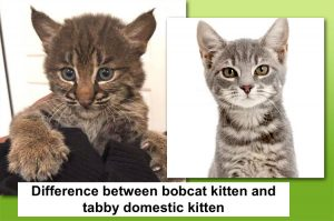 Woman thought she rescued a kitten by the side of a road but 'stole' a bobcat instead