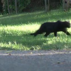 Feral cat Hazleton