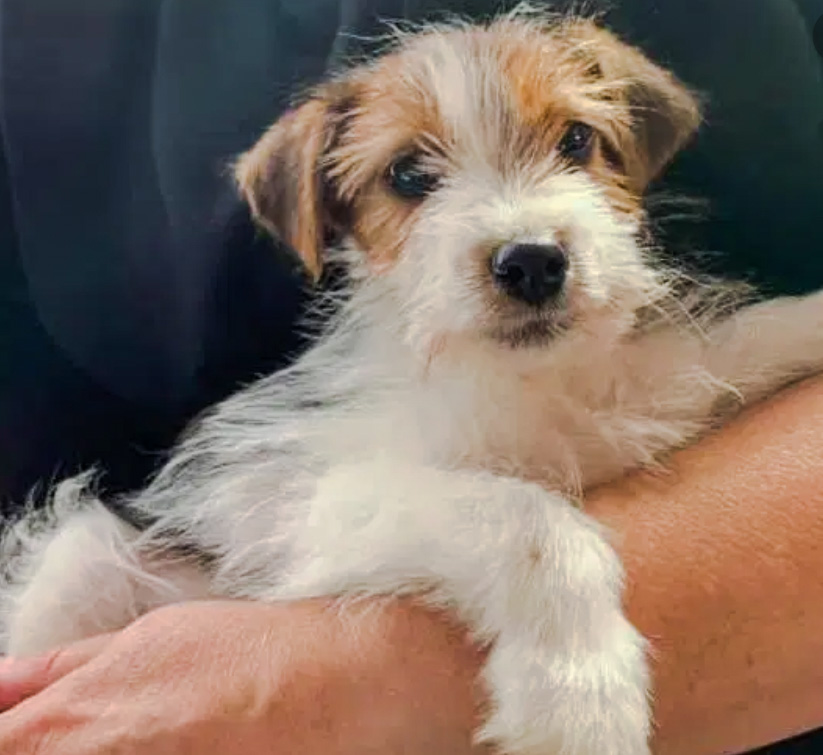 The cute Jack Russell cross rescue puppy adopted by Boris Johnson and Carrie Symonds