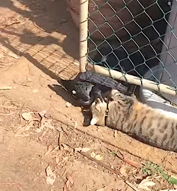 Magpie called Ninja is friends with tabby cat