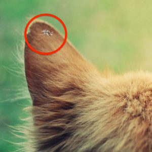 Mosquito on cat's ear flap