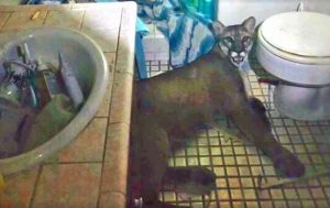 Mountain lion trapped in California couple's bathroom