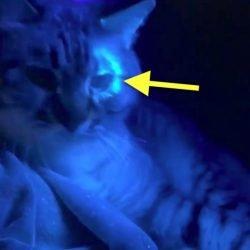 Ringworm glows under UV-A light