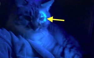 Ringworm glows under UV-A light