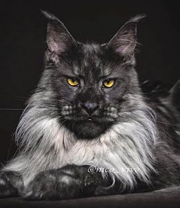 Superb Maine Coon Vivo
