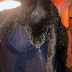 Tranquillised black panther in France