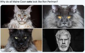 Why do all Maine Coons look like Ron Pearlman?
