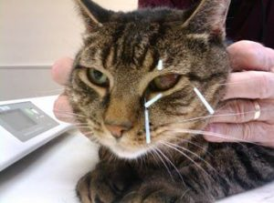 Do cats accept acupuncture and is it effective?