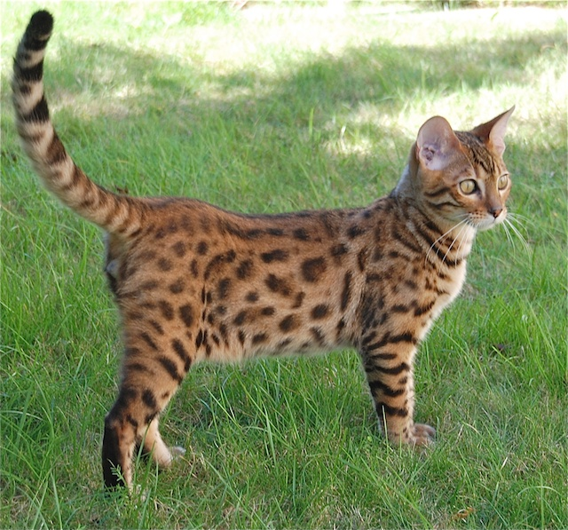 Bengal cat outdoors