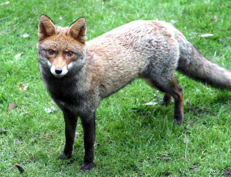 British fox