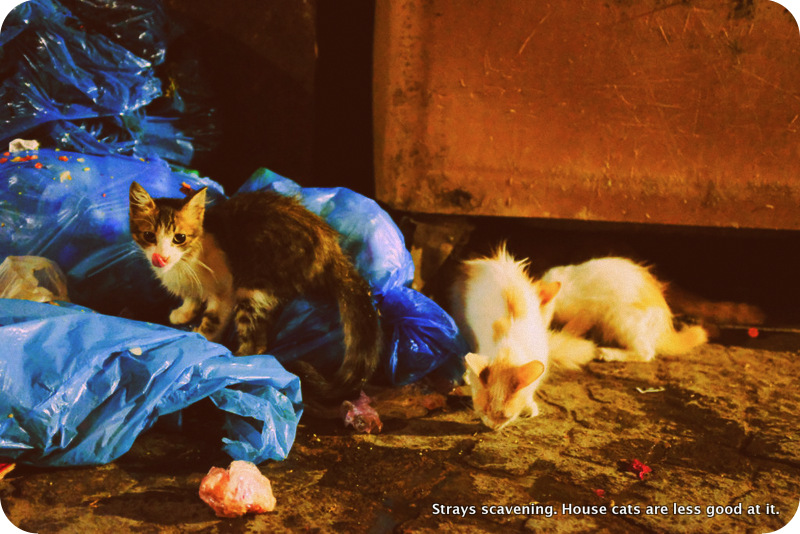 Cats scavenging in Morocco